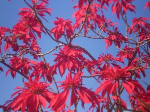 poinsettia tree 300x225 Fun Facts about the Poinsettia