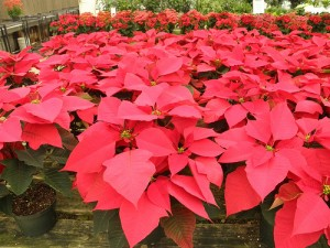 poinsettianursery 300x225 Fun Facts about the Poinsettia