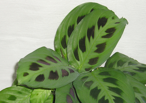 How To Care For A Prayer Plant Newpro