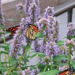 anishyssop 10 Great Plants for a Butterfly Garden