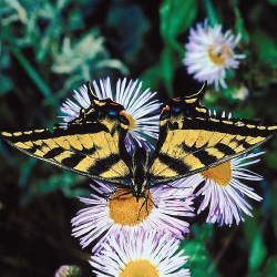 aster 10 Great Plants for a Butterfly Garden