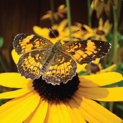 blackeyedsusan 10 Great Plants for a Butterfly Garden