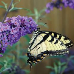 butterflybush 10 Great Plants for a Butterfly Garden