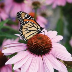coneflower 09 10 Great Plants for a Butterfly Garden