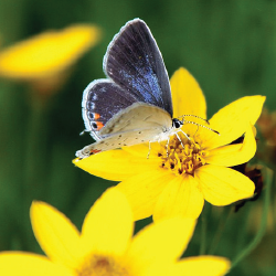 coreopsis 10 Great Plants for a Butterfly Garden