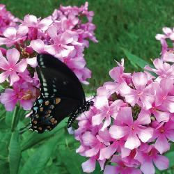 phlox 10 Great Plants for a Butterfly Garden