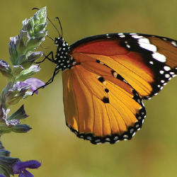 salvia 10 Great Plants for a Butterfly Garden