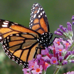 verbena 10 Great Plants for a Butterfly Garden