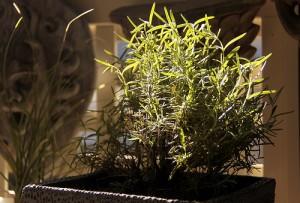 Indoor Rosemary