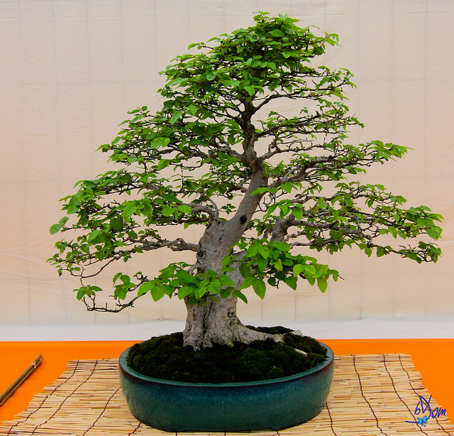 The Basics Of Bonsai Newpro Blog