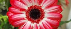 planting gerbera daisies - featured image