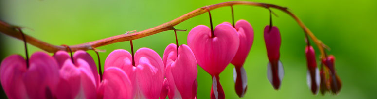 Bleeding Heart Plant