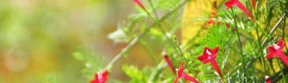 Cypress Vine
