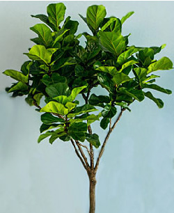 Ficus lyrata 'Little Fiddle'