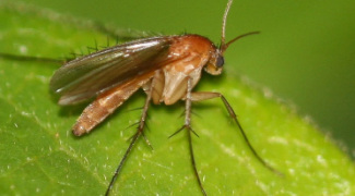 How to Identify and Manage Fungus Gnats Featured Image