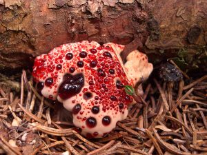 Bleeding Tooth Fungus - Hydnellum peckii