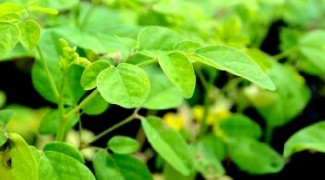 <i>Moringa oleifera</i>: The Miracle Tree? Featured Image