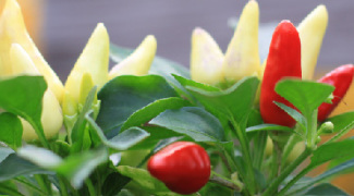 Ornamental Edibles for Outdoor Containers Featured Image