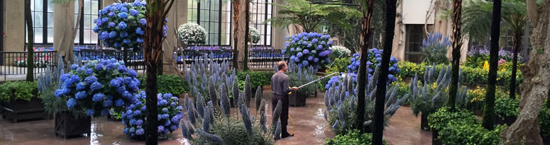 Plant technician using a watering tank to water a massive plant display