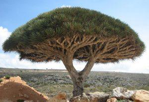 Dragon's Blood Tree - Dracaena Cinnabari