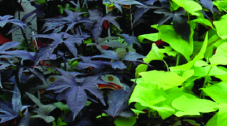 The Advantages of Growing Ornamental Sweet Potato Vine Featured Image