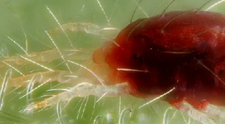 Organic and Biological Pest Control: Predatory Mites Featured Image