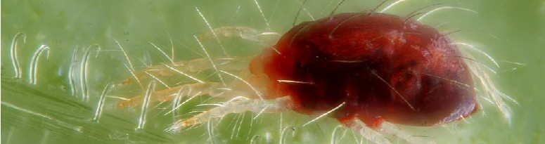 Twospotted Mite