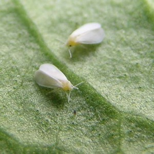 Whiteflies: Photo by Gaucho