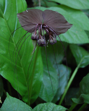 Chinese Black Batflower - Tacca chantrieri