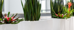 a line of square white planters with snake plants and bromeliads
