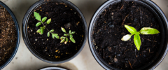 image of four growing seedlings in black plastic grow pots