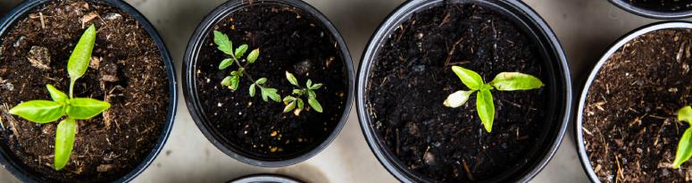 image of four growing seedlings in black plastic grow pots
