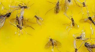 Don't Let Fungus Gnats Plague Your Interiorscape Accounts Featured Image