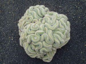 Brain Cactus - Mammillaria elongata cristata