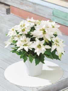 max white princettia poinsettia