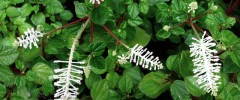 peperomia fraseri - featured image