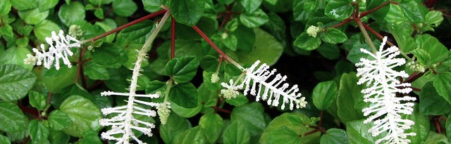 peperomia fraseri - featured image