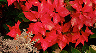 How to Care for Your Holiday Poinsettias Featured Image