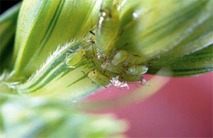 aphids on wheat head