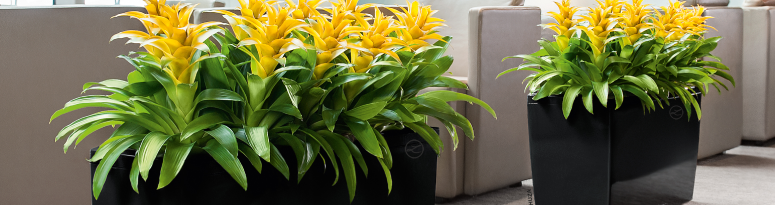 Two black self watering planters in an office hold yellow bromeliad indoor plant