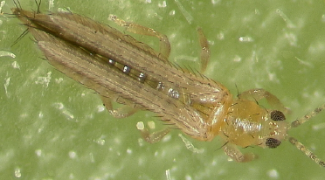 How to Identify and Manage Thrips Featured Image